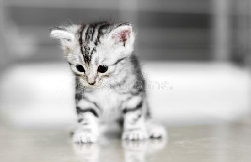 Nettes Amerikanisch Kurzhaar-Katzenkätzchen lizenzfreie stockbilder