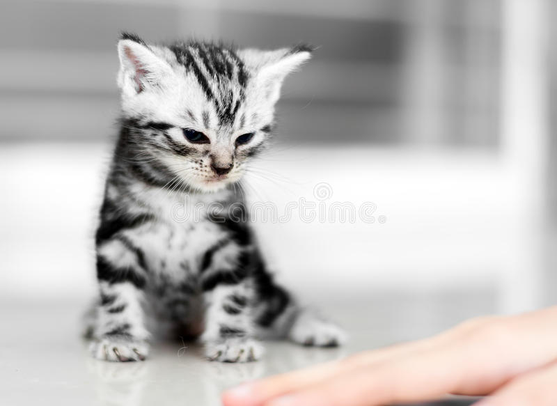 Nettes Amerikanisch Kurzhaar-Katzenkätzchen stockfoto
