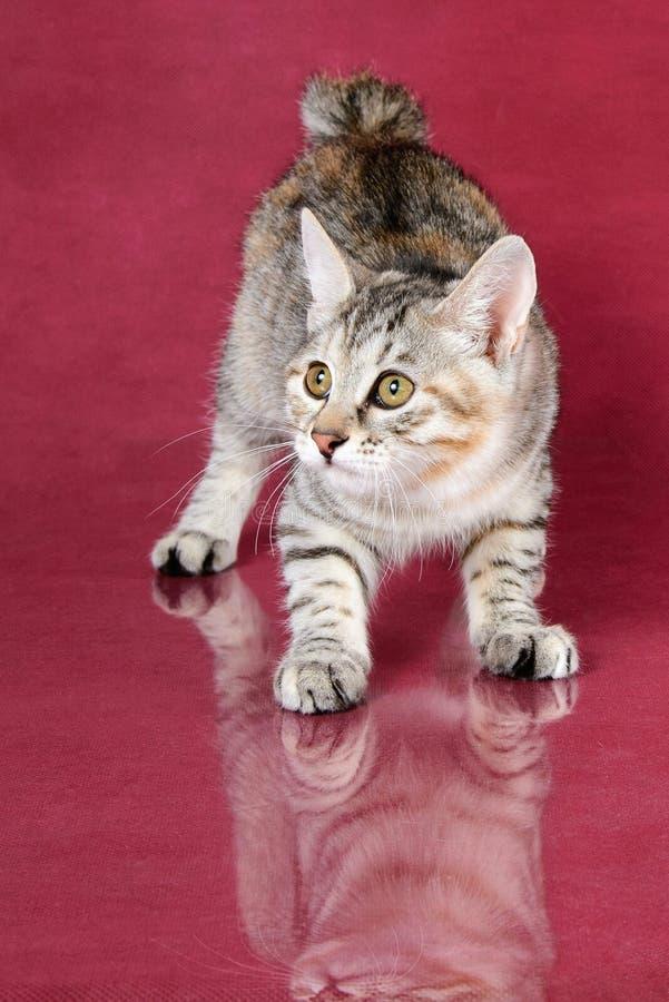 Nettes Bobtail vollblütiges graues Kätzchen getigerter Katze Kurilian auf Kirschstudiohintergrund lizenzfreie stockfotografie