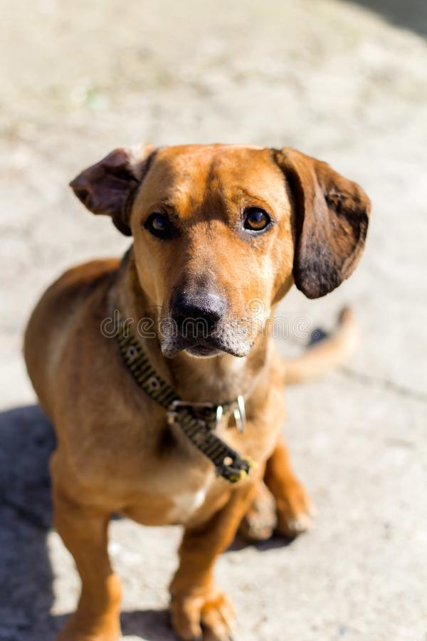 Nettes braunes Hundeporträt stockbilder