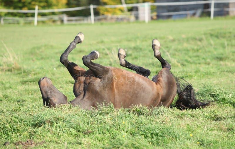 Nettes braunes Pferderollen auf Weide lizenzfreie stockfotografie