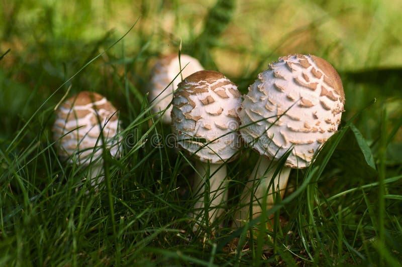 Nettes Detailporträtbündel Pilze Macrolepiota stockfotos