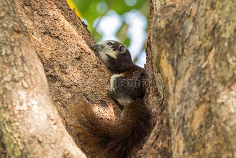 Nettes Eichhörnchen Browns Finlayson mit beige Sahnegesicht und buschigem ta lizenzfreie stockbilder
