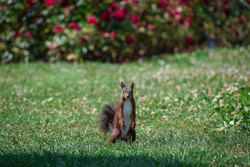 Nettes Eichhörnchen, das in der Kamera schaut stockfoto