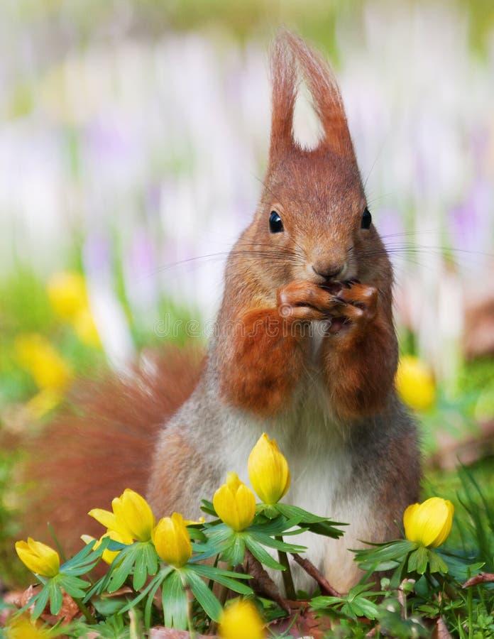 Nettes Eichhörnchen, das an einer Mutter abnagt stockbilder