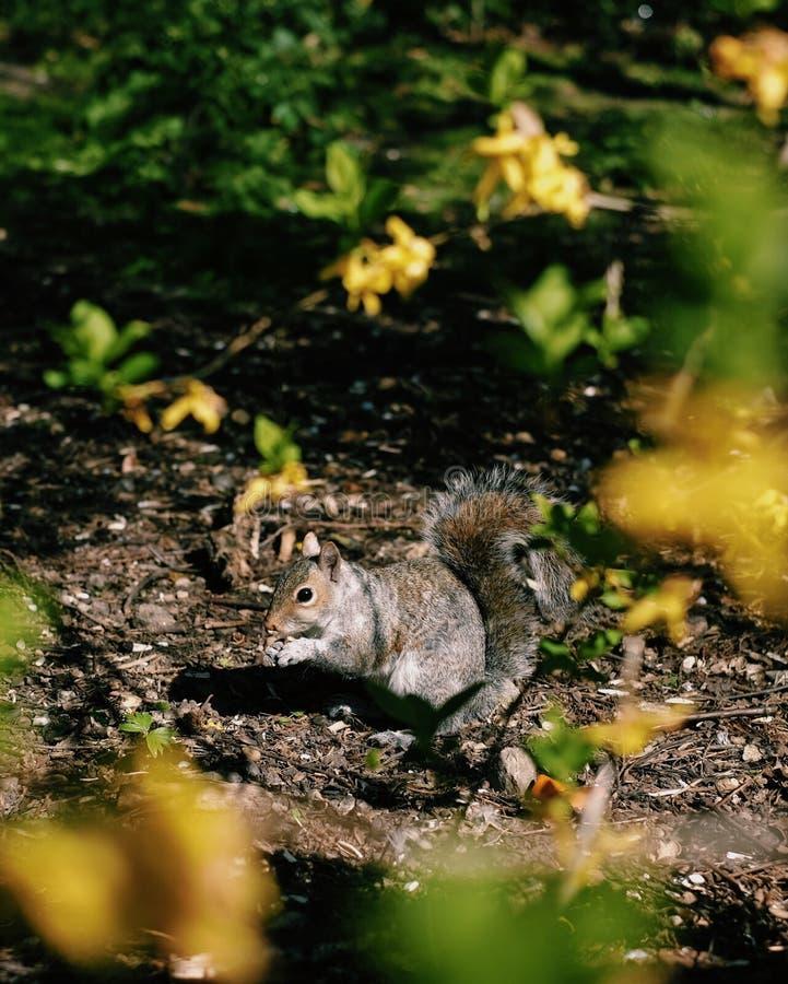 Nettes Eichhörnchen, das unter Sonnenschein isst stockbild
