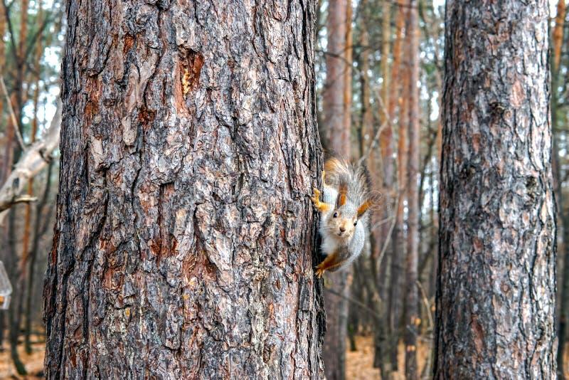 Nettes Eichhörnchentier, das auf einer Niederlassung des Kiefernwaldes am sonnigen Frühlingstag im Holz der wild lebenden Tiere s lizenzfreie stockfotos