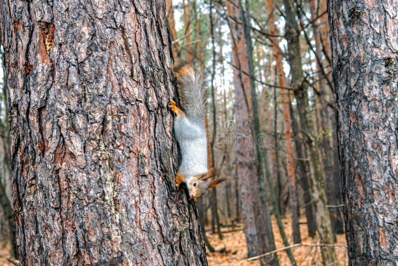 Nettes Eichhörnchentier, das auf einer Niederlassung des Kiefernwaldes am sonnigen Frühlingstag im Holz der wild lebenden Tiere s stockbild