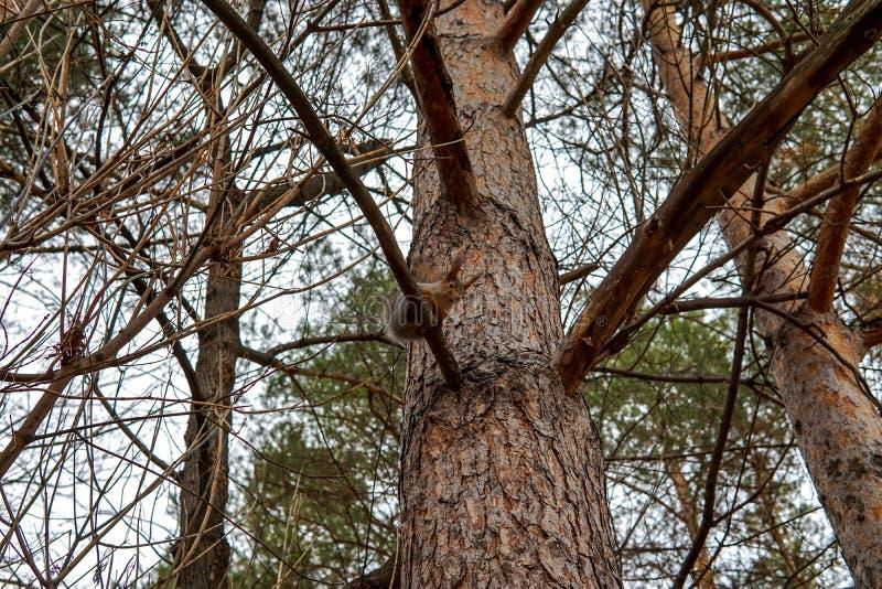 Nettes Eichhörnchentier, das auf einer Niederlassung des Kiefernwaldes am sonnigen Frühlingstag im Holz der wild lebenden Tiere s lizenzfreies stockbild