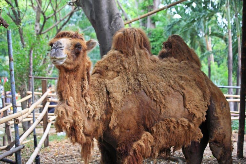Nettes einhöckriges braunes Kamel stockfotos