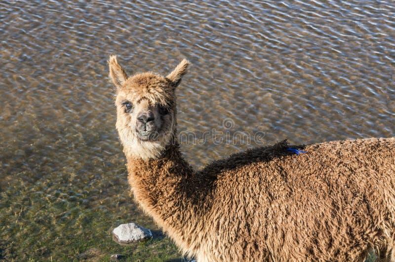 Nettes entzückendes Alpaka lizenzfreie stockfotos