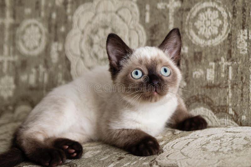 Nettes Farbepunktkätzchen mit blauen Augen sitzt auf einem beige Sofa und schaut oben lizenzfreie stockfotografie