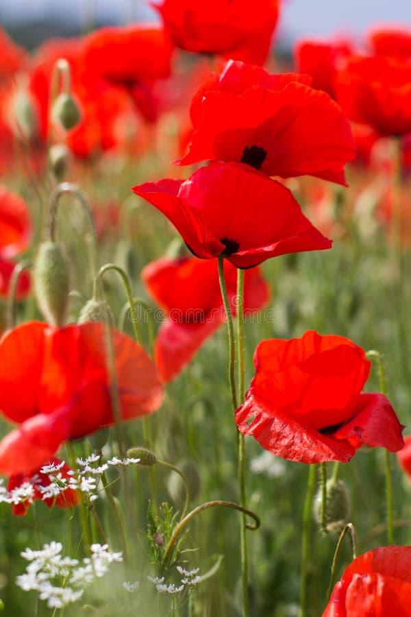 Nettes Feld von roten Mohnblumenblumen lizenzfreie stockfotos