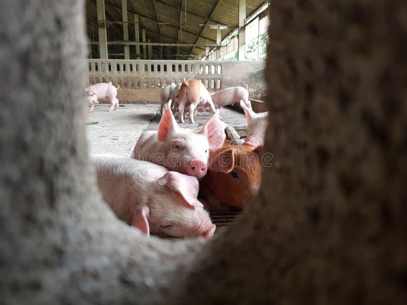 Nettes Ferkel im Bauernhof stockfoto