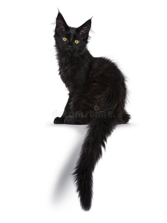 Nettes festes schwarzes Maine Coon-Katzenkätzchen auf weißem Hintergrund lizenzfreies stockbild
