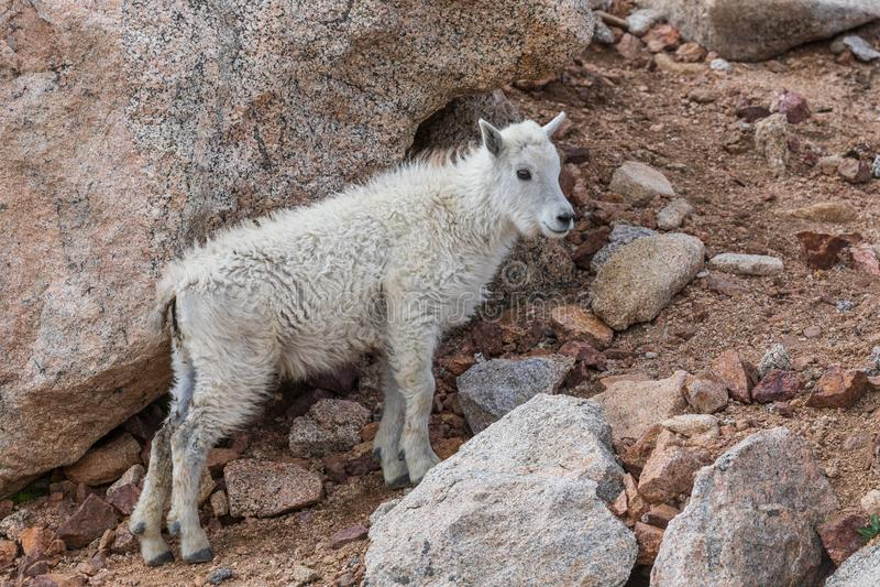 Nettes Gebirgsziegen-Kind in den Felsen stockfotos