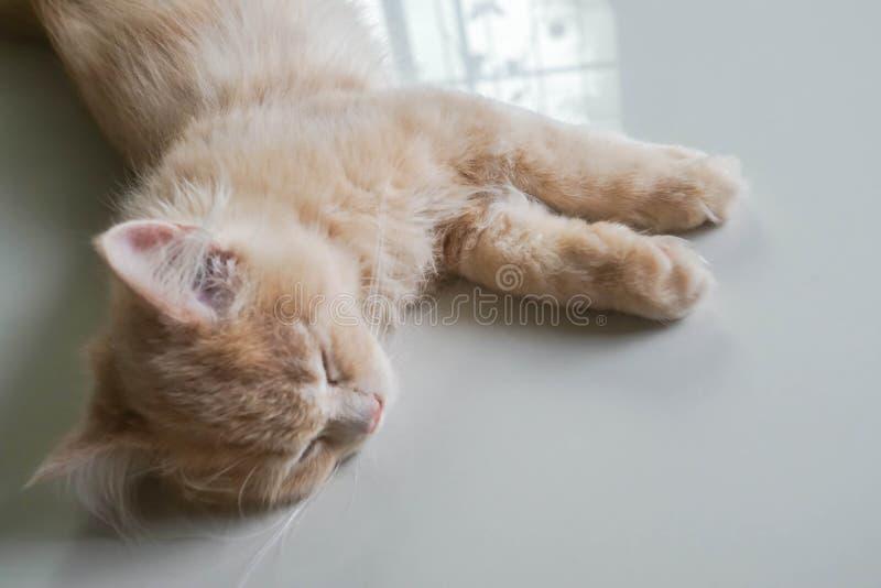 Nettes Gesicht der persischen Katze Schlafens des selektiven Fokus in der Tageszeit lizenzfreies stockfoto