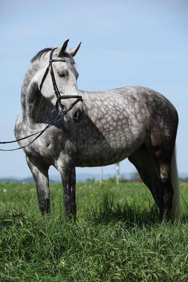 Nettes graues Pony mit dem Zaum, der im Gras steht stockfoto