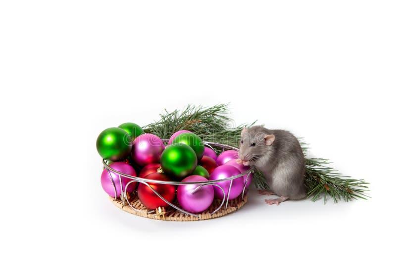Nettes Haustier Bezaubernde Ratte Dumbo sitzt nahe bei Weihnachtsdekorationen und einer Kiefernniederlassung Einladung des neuen  lizenzfreie stockfotografie