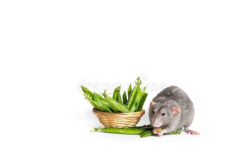 Nettes Haustier Eine nette Dumbo-Ratte auf einem weißen Hintergrund lokalisiert, grüne Erbsen essend Das Symbol von 2020 stockfoto