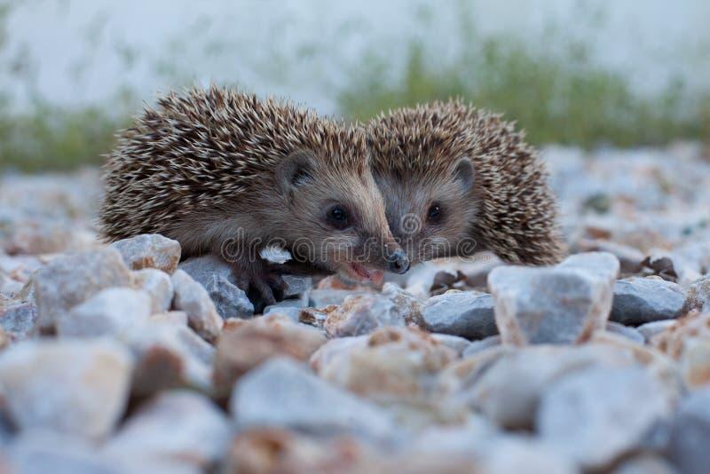 Nettes Igeles, wild lebende Tiere lizenzfreies stockbild
