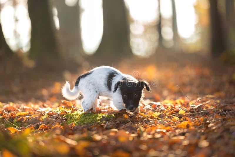 Nettes Jack Russell Terrier-Hündchen, wenn vorwärts änd geschaut wird, das in Herbstlaub steht stockfotografie