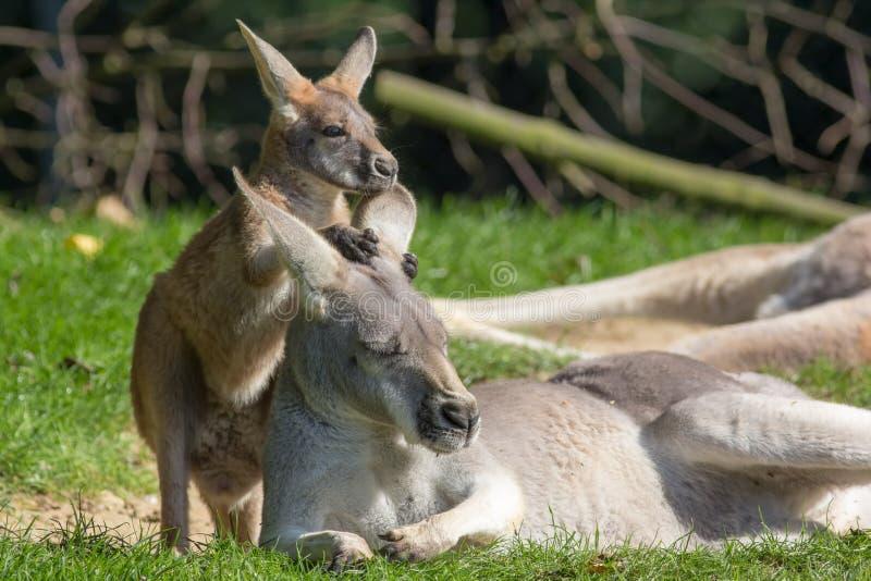 Nettes joey Tierbild Babykänguruh, der auf Mutter hält lizenzfreies stockbild