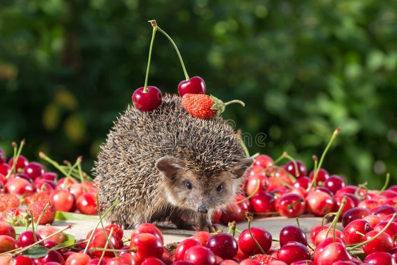 Nettes junges Igeles unter der Beere auf Grün verlässt Hintergrund, trägt Kirsche und Erdbeere auf der Rückseite lizenzfreies stockbild