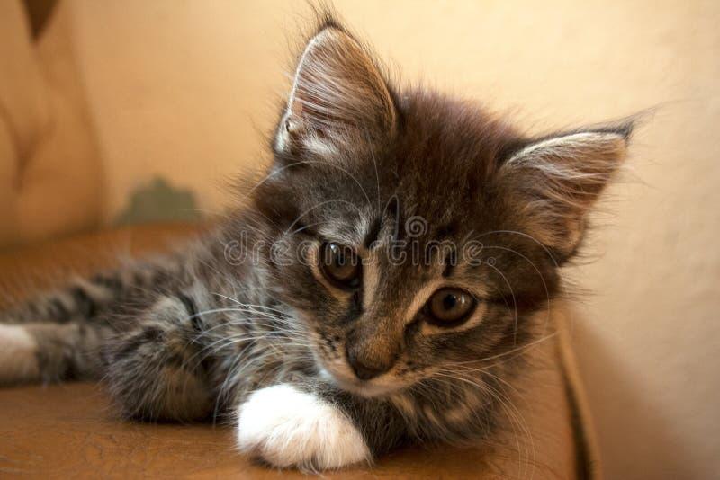 Nettes Kätzchen, das auf Couch anstarrt lizenzfreie stockfotos