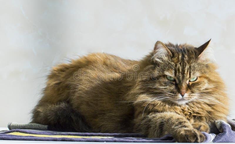 Nettes Kätzchen, das auf einem Tuch, sibirische reinrassige braune Makrele liegt stockbild