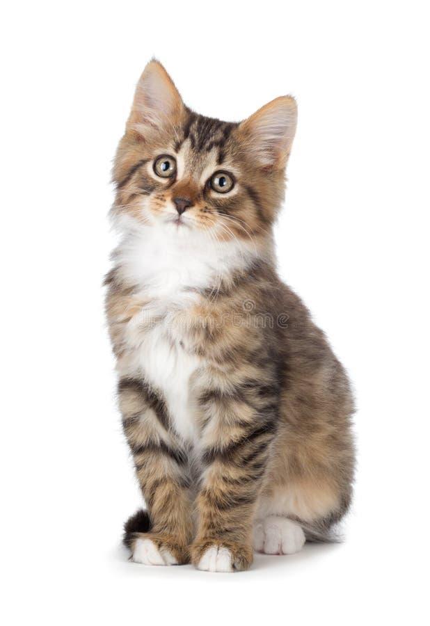 Nettes Kätzchen der getigerten Katze auf einem weißen Hintergrund. stockbilder