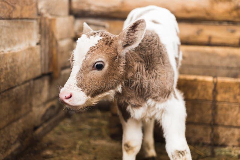 Nettes Kalb auf dem Bauernhof stockfotografie