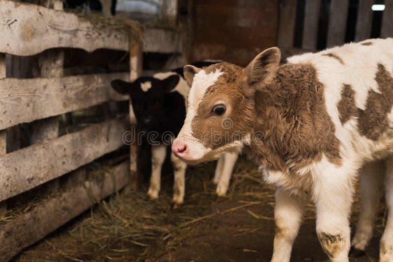 Nettes Kalb auf dem Bauernhof lizenzfreies stockbild