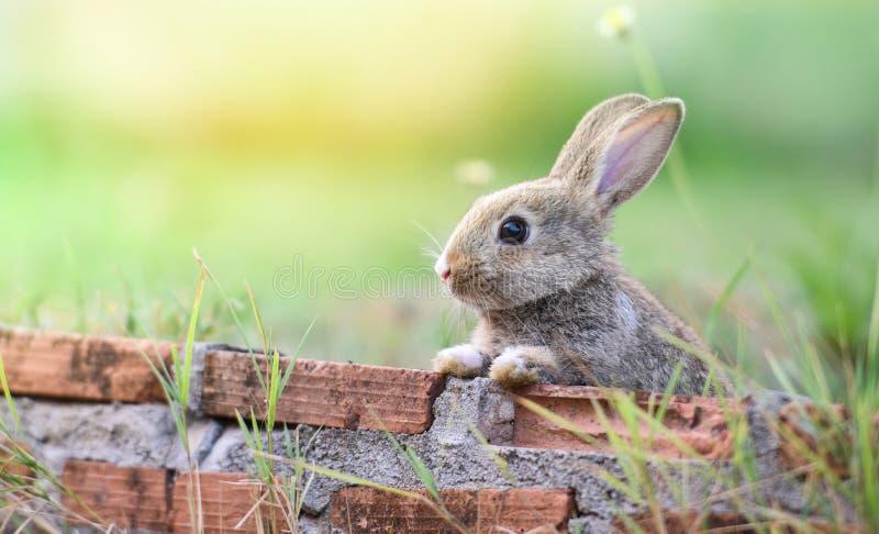 Nettes Kaninchen, das auf Backsteinmauer und grüner Feldfrühlingswiese/sitzen, Osterhasenjagd für Osterei stockfotografie