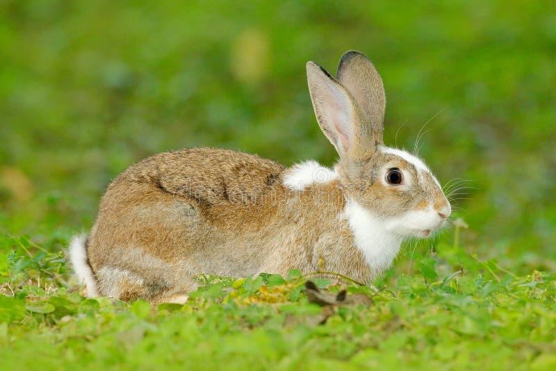 Nettes Kaninchen mit dem Blumenlöwenzahn, der im Gras während Ostern sitzt Szenen-Formnatur der wild lebenden Tiere Tierverhalten lizenzfreies stockbild