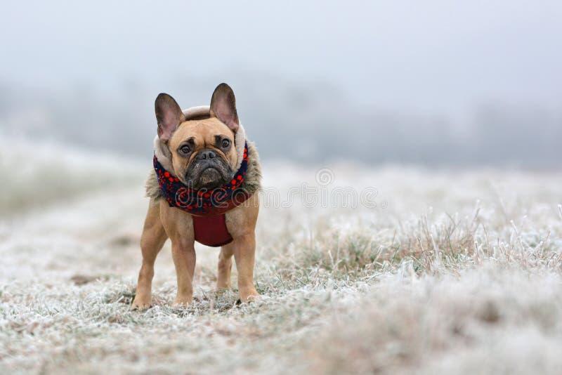 Nettes Kitz Mädchen französischer Bulldogge in der Winterkleidung, die auf einem weißen eisigen Feld im Winter steht lizenzfreies stockfoto