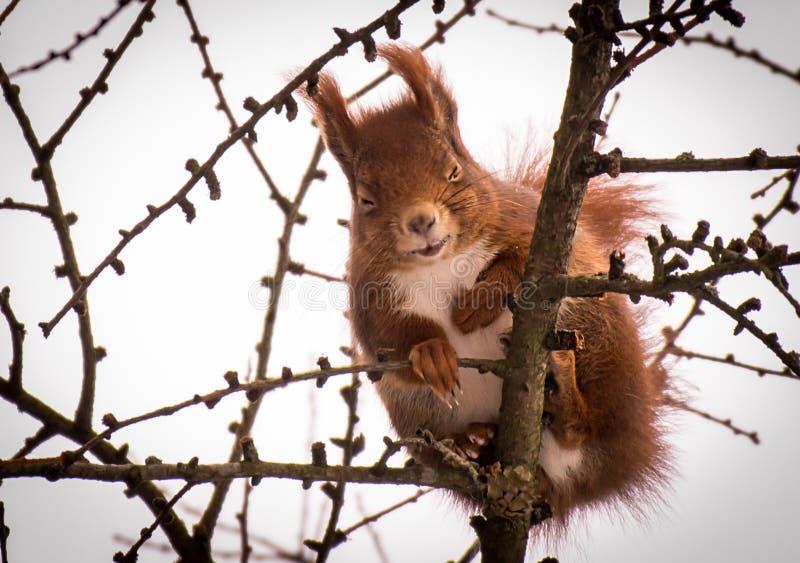 Nettes kleines Eichhörnchen, das in einem Lärchenbaum lacht lizenzfreies stockfoto
