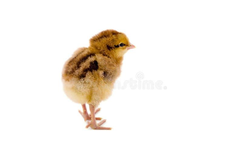 Nettes kleines Huhn stockbilder