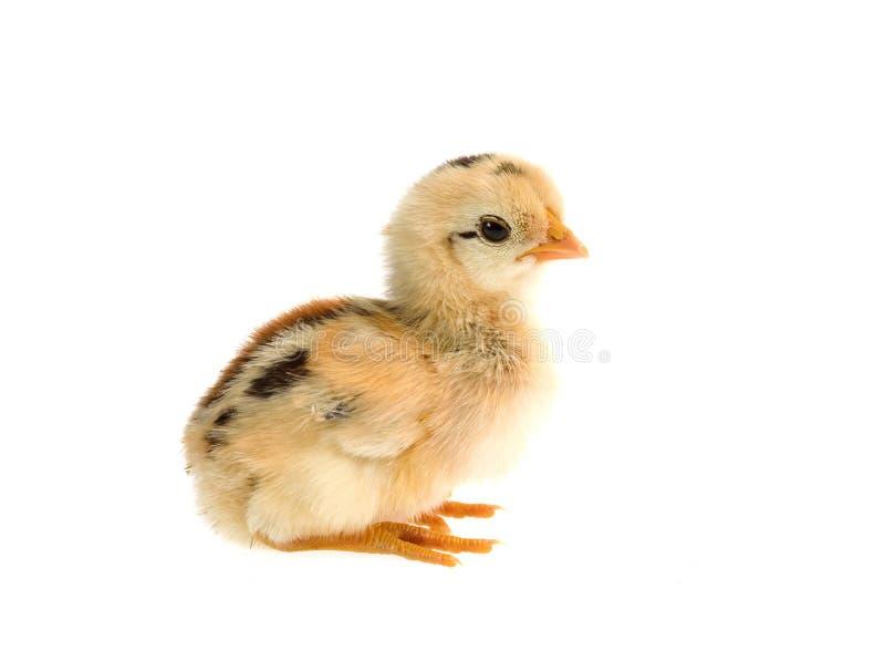Nettes kleines Huhn getrennt auf weißem Hintergrund stockbild
