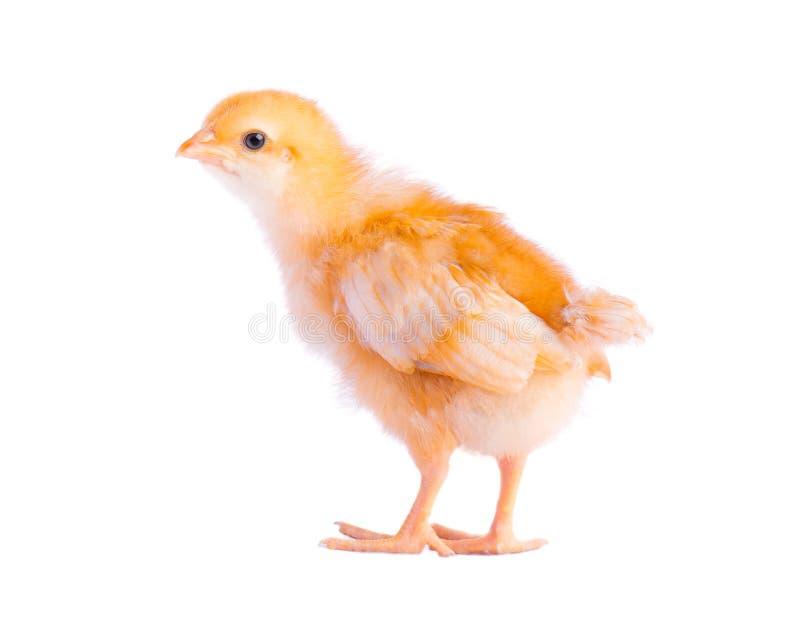 Nettes kleines Huhn getrennt auf weißem Hintergrund lizenzfreies stockfoto