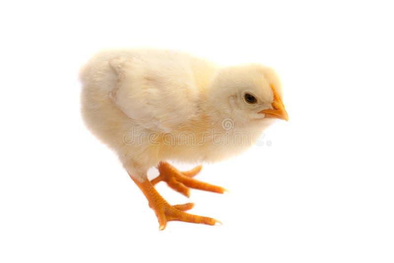 Nettes kleines Huhn getrennt auf weißem Hintergrund stockfotos