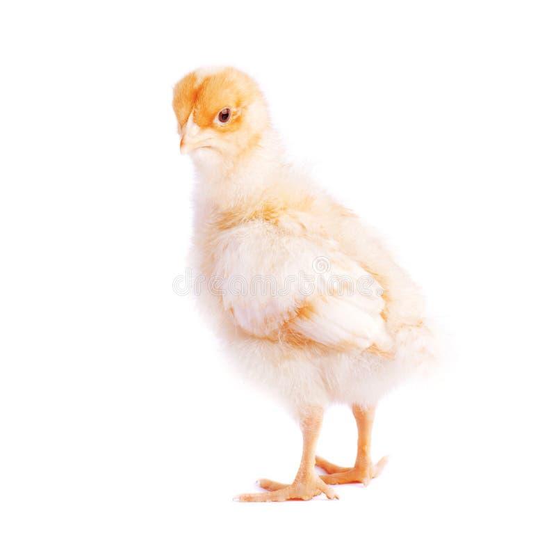 Nettes kleines Huhn lokalisiert stockfotos