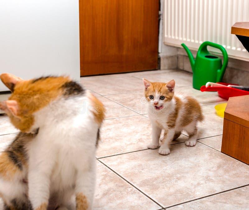 Nettes kleines Ingwer-weißes Kätzchen, das Lippen leckt und Mutterkatze betrachtet stockfotografie