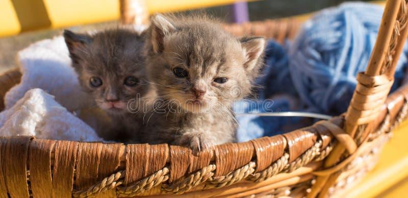 Nettes kleines Kätzchen zwei in einem Korb mit Threads für das Stricken stockfoto