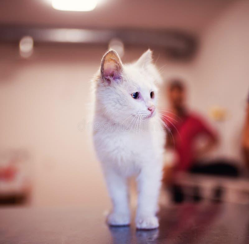 Nettes kleines K?tzchen mit erstaunlichen Augen Wei?e Katze stockbild