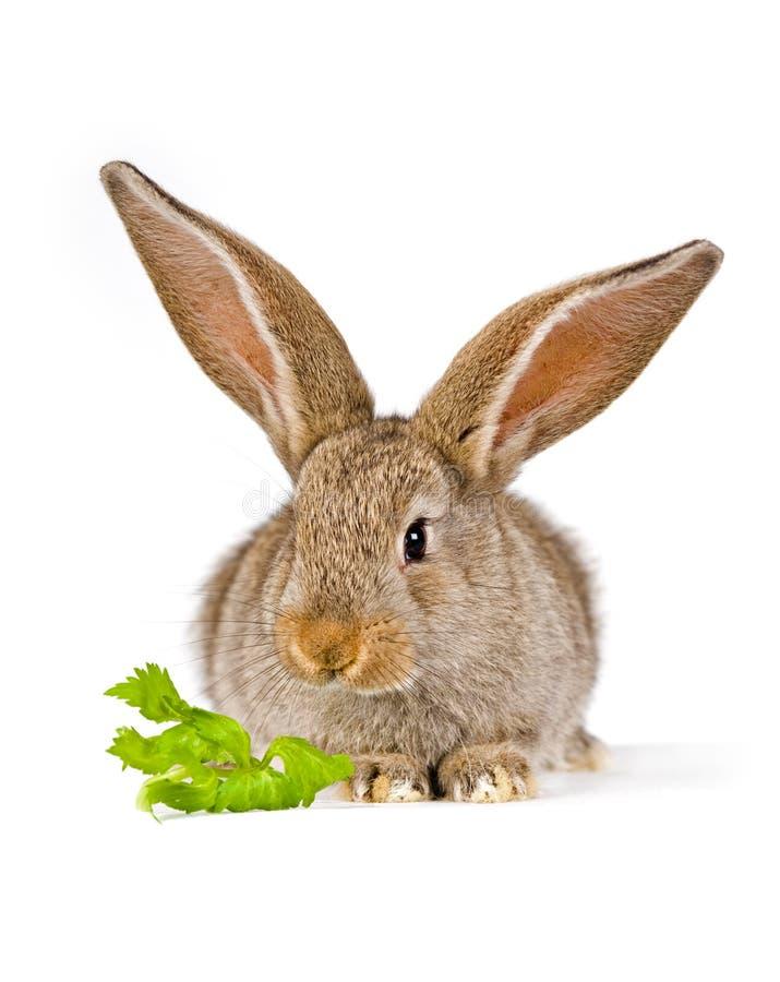 Nettes kleines Kaninchen mit einem Stück Grün lizenzfreie stockbilder
