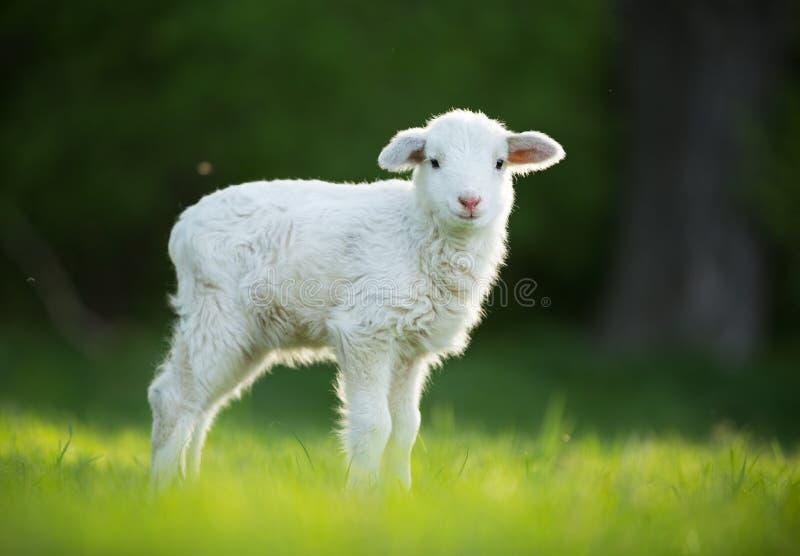 Nettes kleines Lamm auf frischer grüner Wiese lizenzfreie stockfotografie