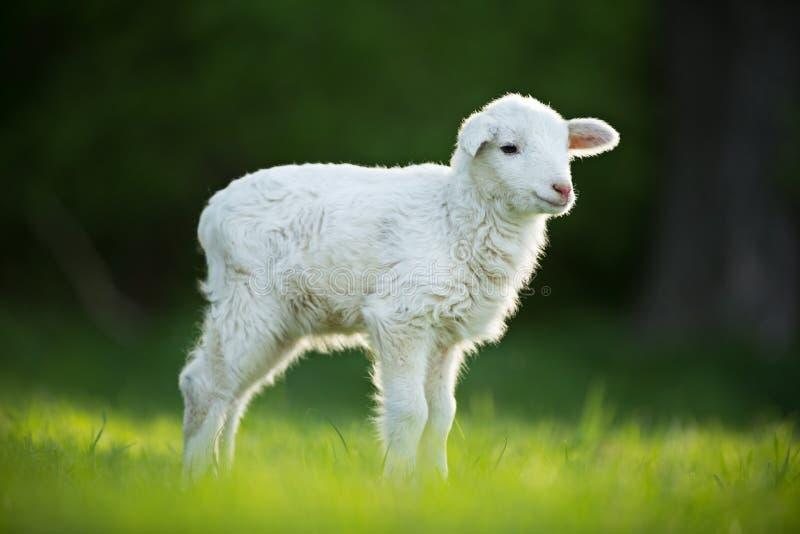 Nettes kleines Lamm auf frischer grüner Wiese stockfotografie
