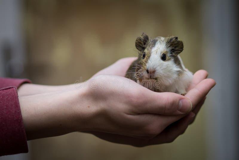 Nettes kleines Meerschweinchen in Mann ` s Händen stockfoto