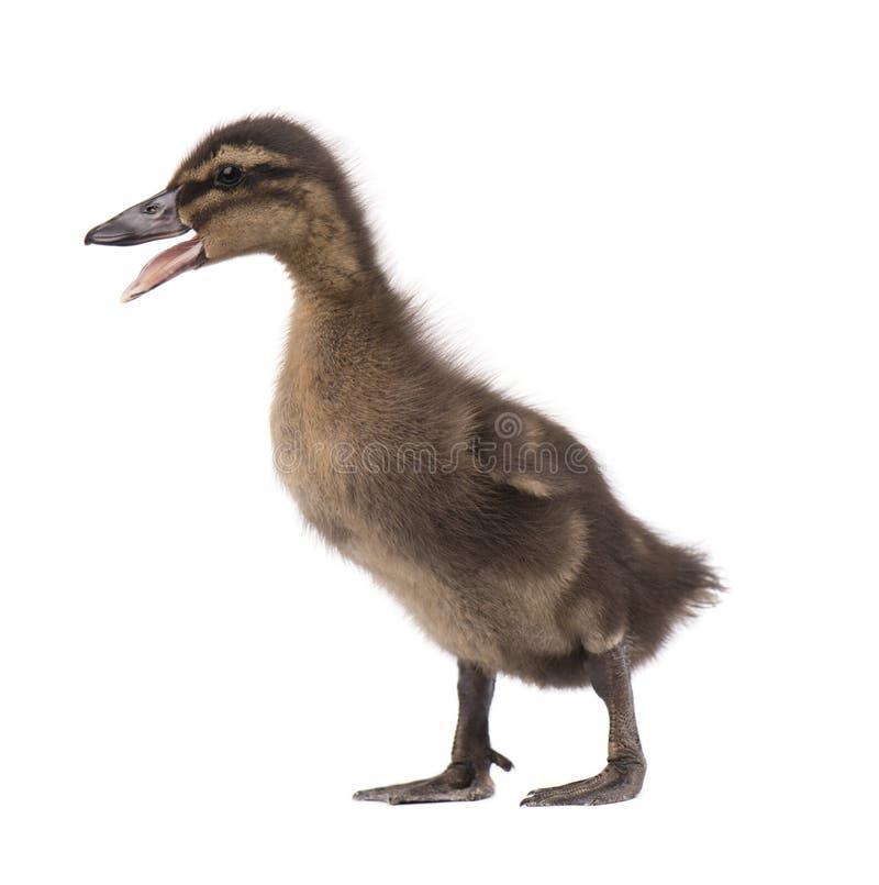 Nettes kleines neugeborenes Entlein, lokalisiert auf einem weißen Hintergrund Porträt der eben ausgebrüteten Ente auf einem Hühne lizenzfreie stockfotos